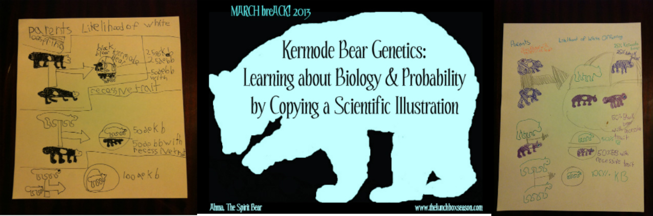 2013 Kermode Bear Genetics Learning About Biology Probability By Copying A Scientific Illustration