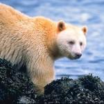 Southeast Spirit Bear