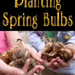A little evening gardening PLANTING SPRING BULBS