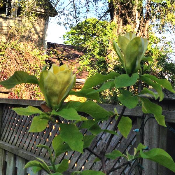 600 Magnolias
