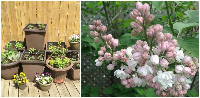 garden versus lilac