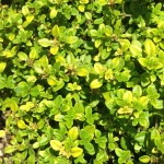 lime thyme